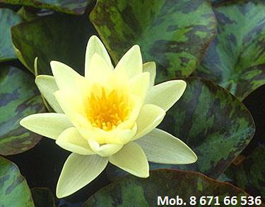 Lelija Chromatella, kaina 15 Eur
