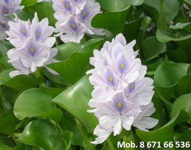 Vandens hiacintas, kaina 4 Eur